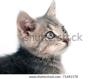 Portrait of cute gray kitten on white background
