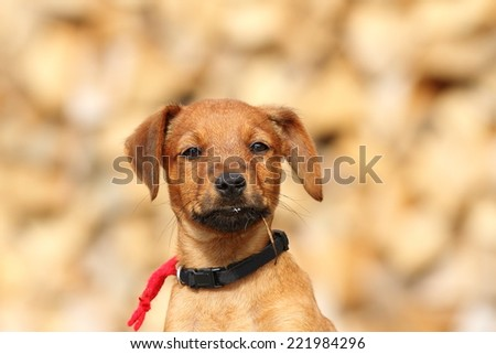 portrait of cute little doggy ( puppy of hunting dog, vizsla )  - stock photo