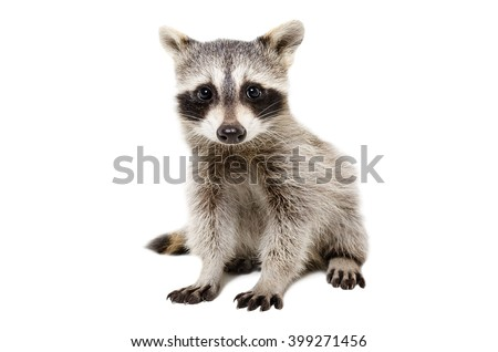 Portrait of cute raccoon isolated on white background
