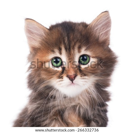 Portrait of cute siberian kitten over white background close-up - stock photo