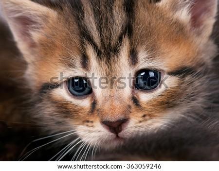 Portrait of cute siberian kitten with sad eyes close-up - stock photo