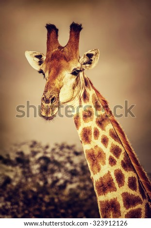 Portrait of cute tall giraffe on sunset, big five, game drive, beautiful wild mammal animal of South Africa - stock photo