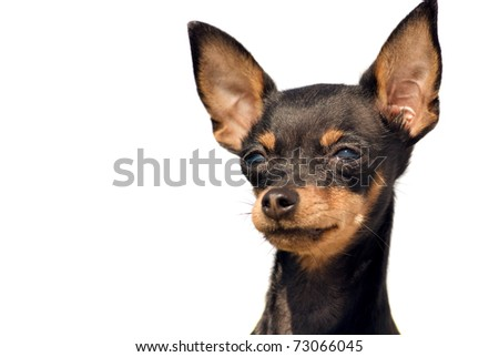 portrait of cute toy terrier dog over white