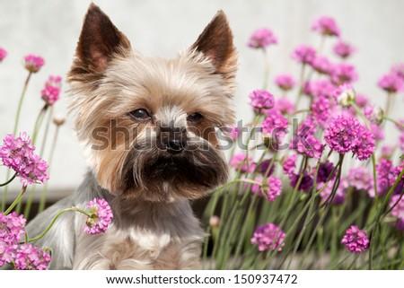 Portrait of cute Yorkshire Terrier in the garden - stock photo