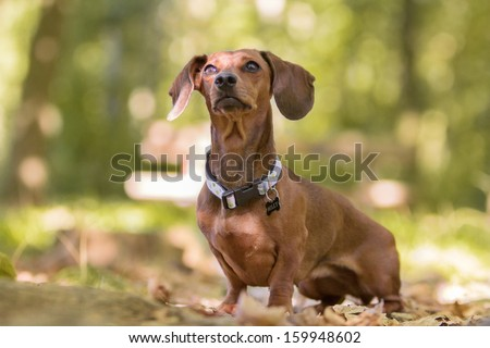 portrait of dachshund - stock photo