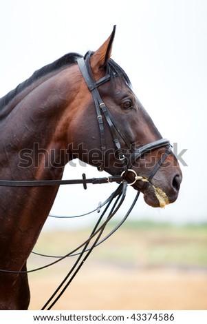Portrait of dark bay stallion with bridle in rain at platz - stock photo