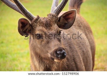 portrait of deer on Phu kradung nation park  in Loei province ,Thailand - stock photo