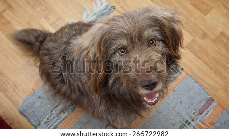 portrait of dog begging for food indoors - stock photo
