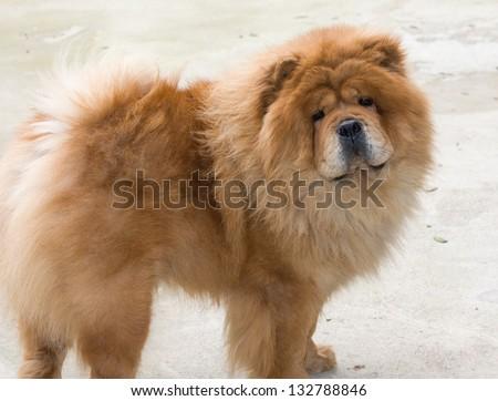 Portrait of dog chow chow - stock photo