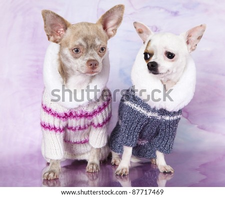 Portrait of dogs chihuahua,  dressed up in front of white background - stock photo