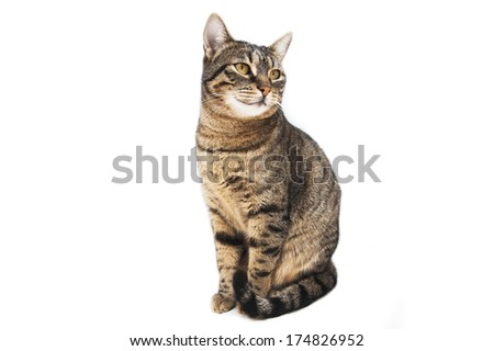 Portrait of domestic brown-haired cat isolated on white background