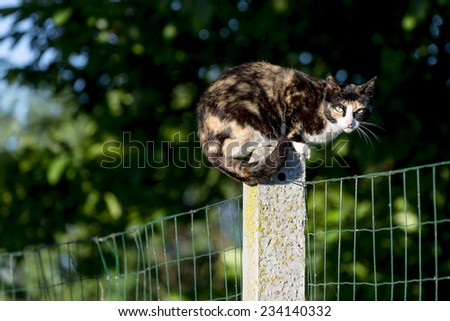 Portrait of domestic cat. Between two gardens an adult tortoise-shell female cat perched on a concrete post looking at camera. Color image - stock photo