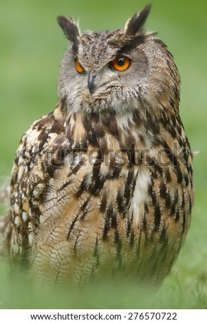 portrait of eagle owl close up - stock photo