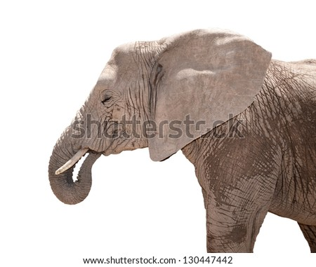 Portrait of elephant isolated on white - stock photo