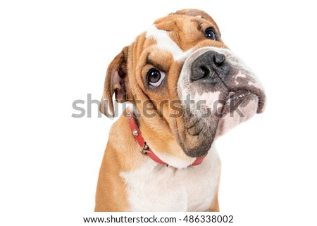 Portrait of English bulldog pup isolated on white background