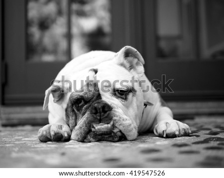 Portrait of English Bulldog with Sad Face Laying Down - stock photo