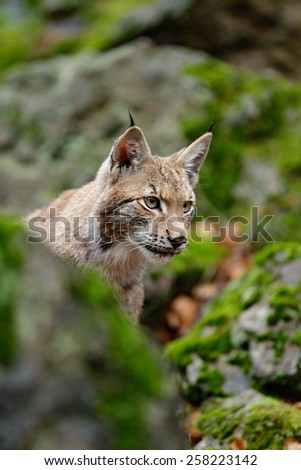 Portrait of eurasian wild cat Lynx, name is Blondyn, in green moss stone, Czech  - stock photo