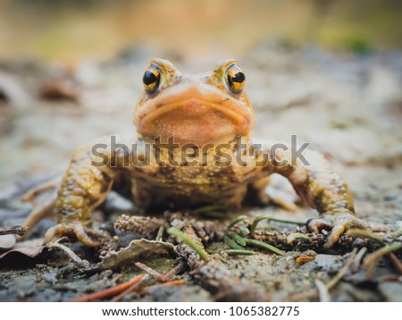 Portrait of European common brown frog (Rana Temporaria) sitting still on the mud