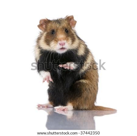 Portrait of European Hamster, Cricetus cricetus, against white background, studio shot - stock photo