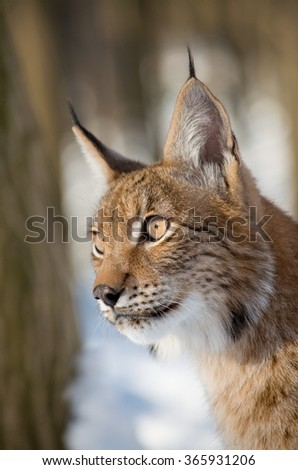 Portrait of European lynx in the winter forest - stock photo
