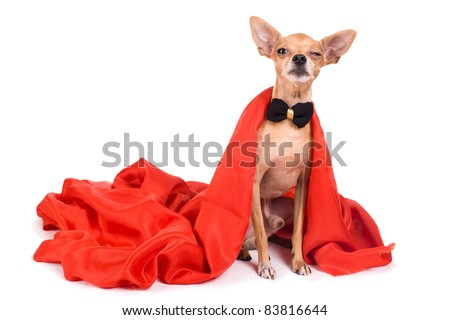 portrait of evi terrier dressed as a vampire on a white background - stock photo