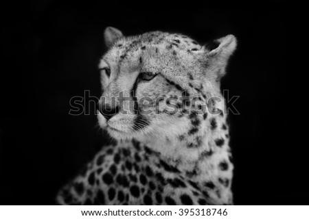 Portrait of female Cheetah Imani in Masai Mara, Kenya - stock photo
