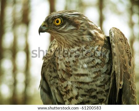 Portrait of female sparrowhawk - stock photo