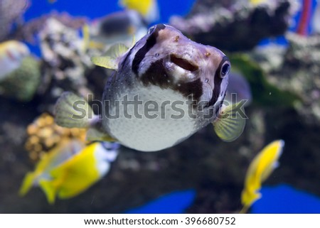 Portrait of fishes Cyclichthys orbicularis in the aquarium - stock photo