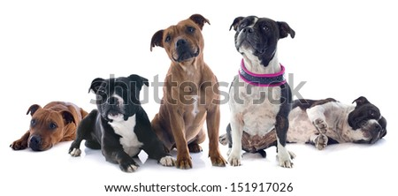 portrait of five staffordshire bull terrier in front of white background - stock photo