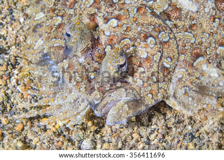 Portrait of flatfish called a Leopard flounder, Pantherbutt (Bothus pantherinus) lies flat on the bottom of the tropical waters.