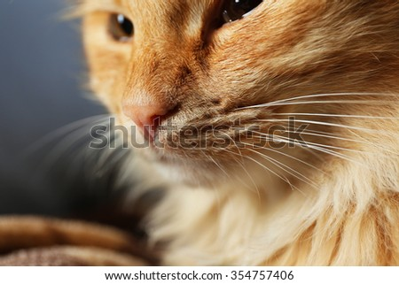 Portrait of fluffy red cat on sofa with brown plaid, close up