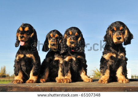portrait of four puppies purebred english cocker on a blue sky - stock photo