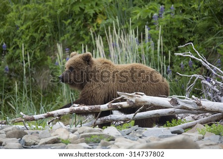 Portrait of free wild brown bear in natural habitat