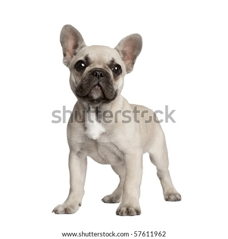 Portrait of French bulldog standing in front of white background - stock photo