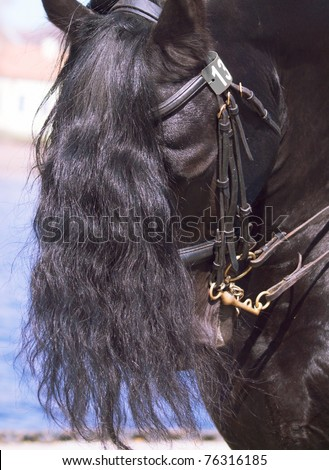 portrait of friesian horse - stock photo