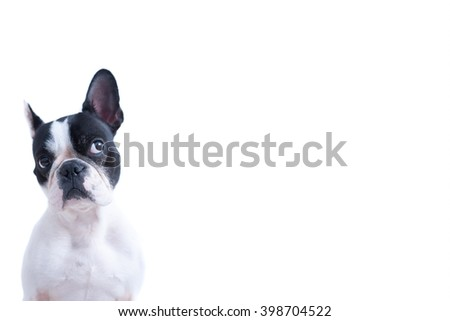 Portrait of funny black and white Frenchie looking up against of white background. Isolated. Copy space available - stock photo