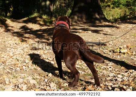 Portrait of funny chocolate Labrador Retriever dog looking up against of park. The anticipation of a beautiful dog looking up. Autumn