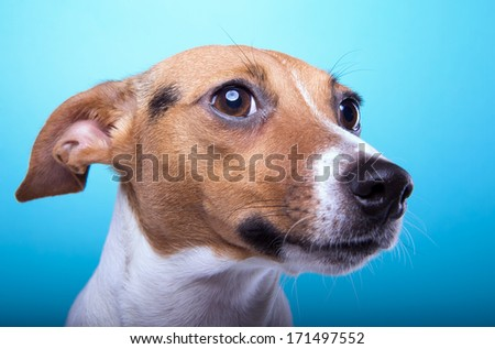 Portrait of funny Jack Russel terrier dog on a blue background. - stock photo