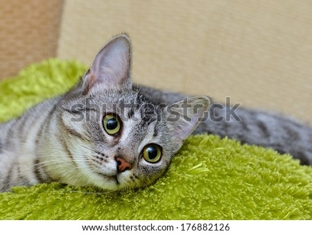 Portrait of funny little grey cat, domestic cat in blur brown dirty background, cat portrait, animals, domestic cat with green eyes close up in focal focus, grey cat, elegancy, cat selective focus - stock photo