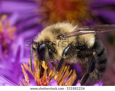Portrait of fuzzy bumble bee on purple aster flower - stock photo
