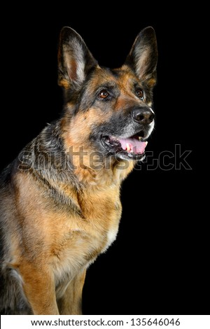 Portrait of German sheepdog on the dark background