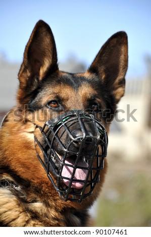 portrait of German Shepherd - stock photo