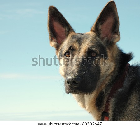 Portrait of German Shepherd Dog - stock photo