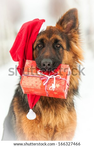 Portrait of german shepherd dog wearing christmas hat and holding a gift in his mouth - stock photo