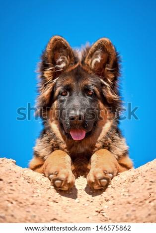 Portrait of german shepherd puppy - stock photo