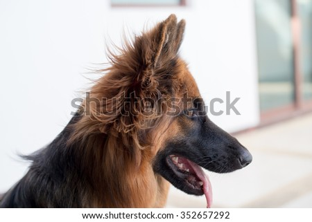 Portrait of german shepperd dog