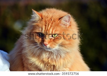 Portrait of ginger domestic cat - stock photo