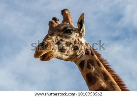 Portrait of giraffe (Giraffa camelopardalis) over blue sky with white clouds in wildlife sanctuary