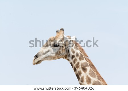 Portrait of giraffe head against light blue sky, seen and pictured in several national parks in namibia, africa.