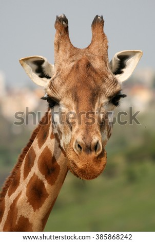 Portrait of giraffe in a Zoo - stock photo
